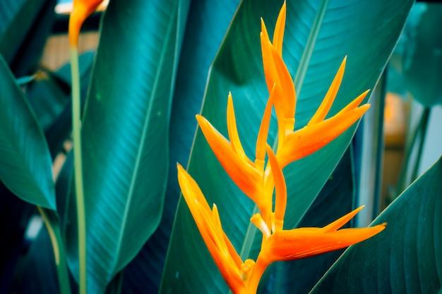 Heliconia psittacorum o antorcha dorada flores con hojas verdes.