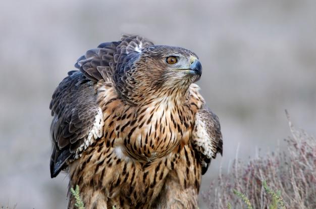 Hembra de dos años del águila de bonelli