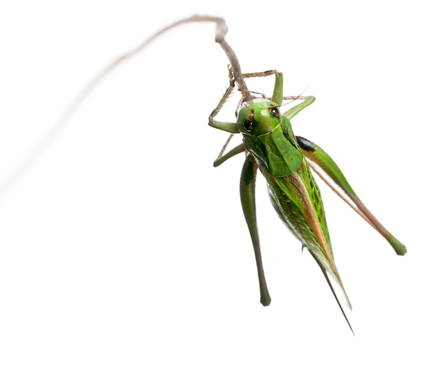La hembra que muerde la verruga (decticus verrucivorus) es un grillo