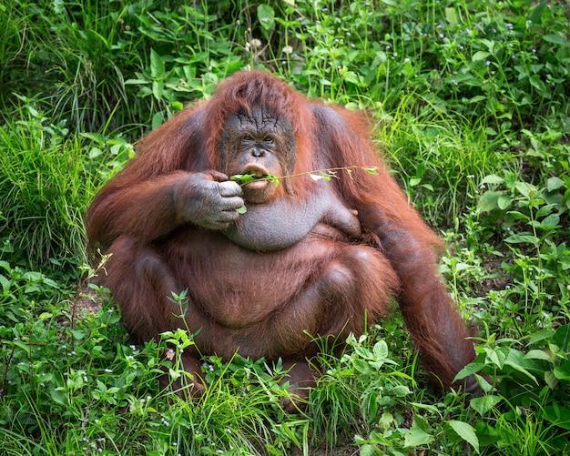 Las hembras de los orangutanes viven en la naturaleza.