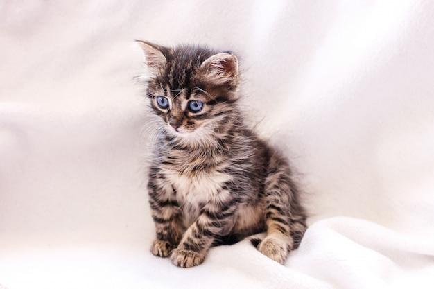 Hermosa atigrado gato esponjoso con grandes ojos azules