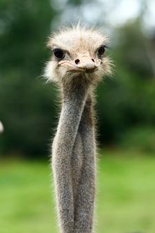 Hermosa avestruz