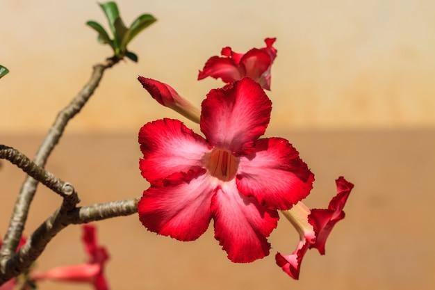 Hermosa azalea rosa florece flor tropical