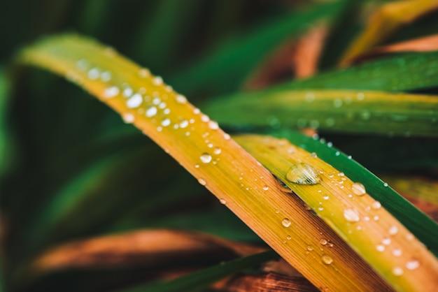 Hermosa y brillante hierba verde y amarillenta brillante con gotas de rocío de cerca con espacio de copia