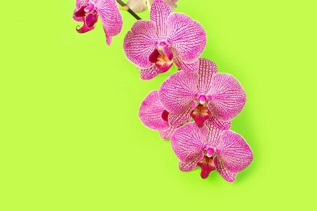 Hermosa cabeza de flor de orquídea suave en la pared de color.