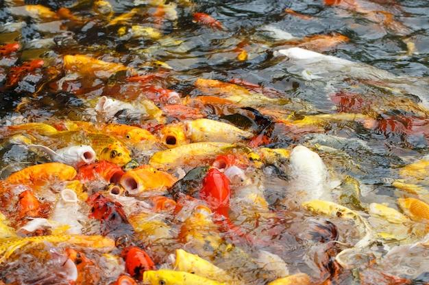 Hermosa carpa elegante o pez koi están nadando en el estanque