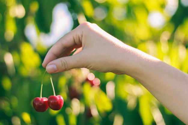 Hermosa cereza madura en manos