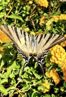 Hermosa cola de golondrina del viejo mundo volando sobre las flores