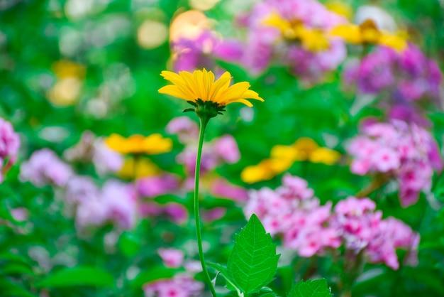 Hermosa flor amarilla brillante contra borrosa flores rosadas y amarillas