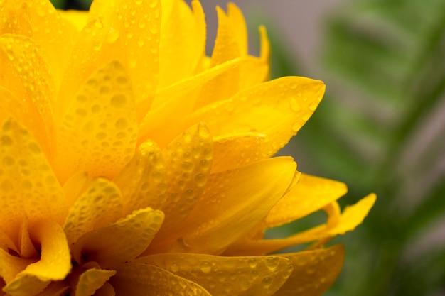 Hermosa flor amarilla rudbeckia, primer plano de la bola de oro.