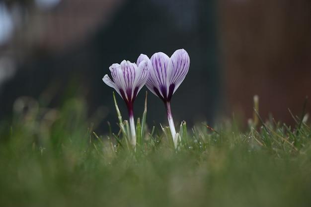 Hermosa flor de azafrán de primavera de pétalos morados