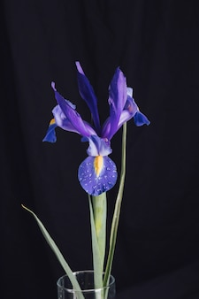 Hermosa flor azul fresca en rocío en florero