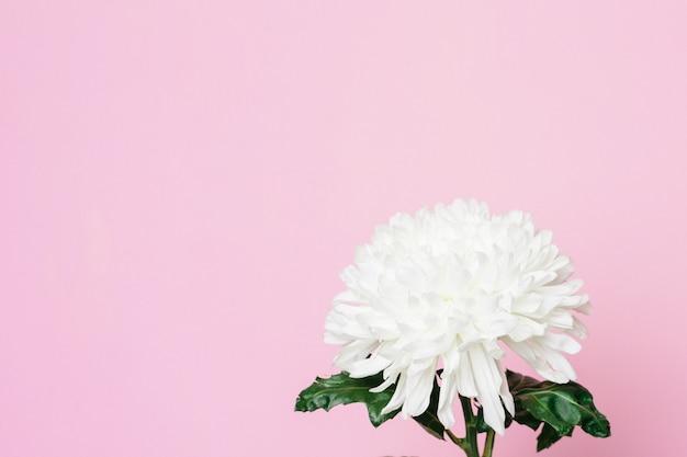 Hermosa flor blanca sobre una superficie rosa