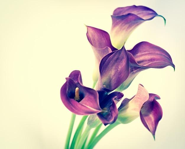 Hermosa flor de cala púrpura