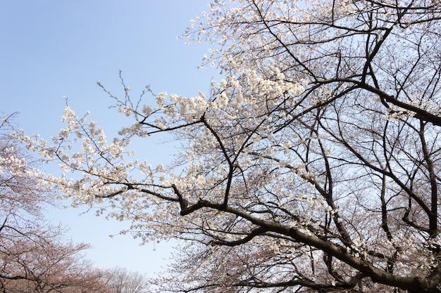 Hermosa flor de cerezo. cerrar flor blanca con espacio de copia con luz de la mañana