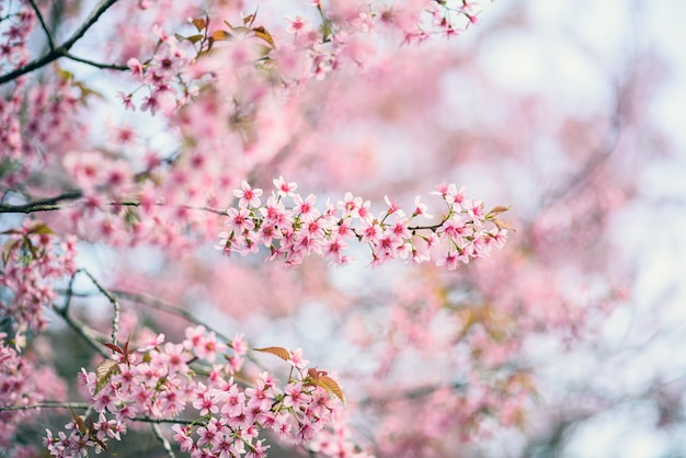 Hermosa flor de cerezo rosa o flor de sakura que florece en el cielo azul en la naturaleza