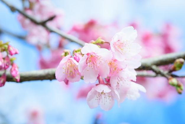 Hermosa flor de cerezo rosa o flor de sakura que florece en el cielo azul sobre fondo de naturaleza