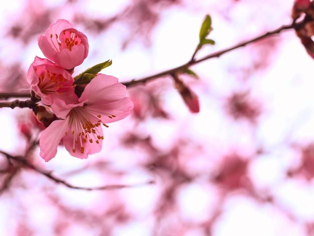 Hermosa flor de cerezo