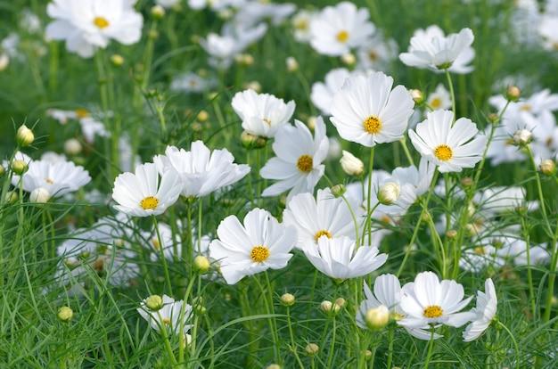 Hermosa flor de cosmos blanco