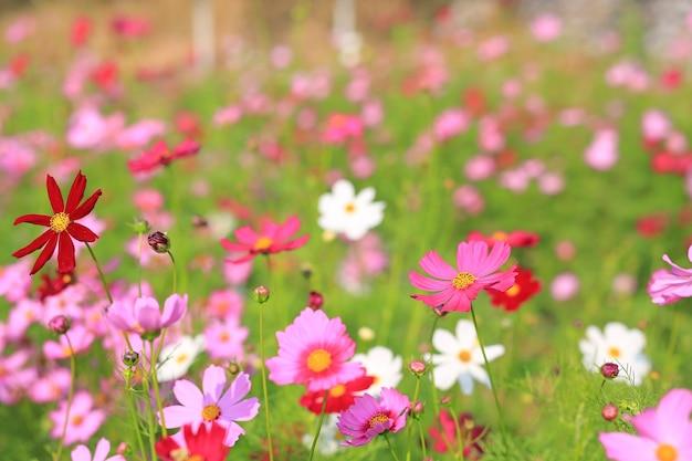Hermosa flor de cosmos que florece en el campo del jardín de verano con rayos de sol en la naturaleza.