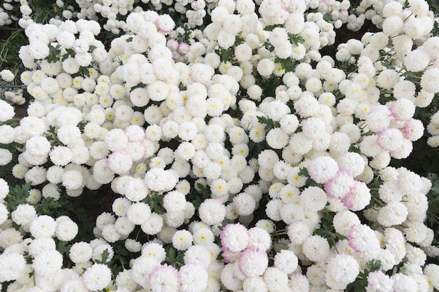 Hermosa flor de crisantemo blanco