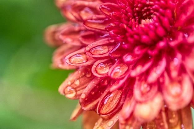 Hermosa flor de dalia creciendo en un campo