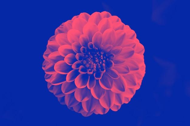 Hermosa flor de duotono.