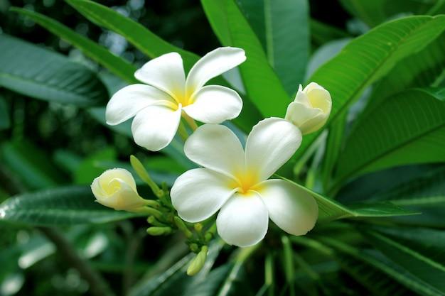 Hermosa flor de frangipani (plumeria) con fondo de naturaleza de hojas verdes