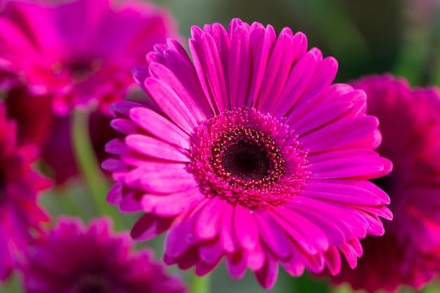 Hermosa flor de gerbera lila en natural