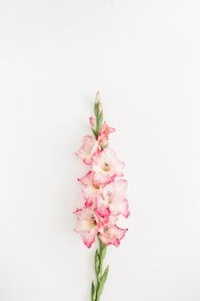 Hermosa flor de gladiolo rosa sobre blanco