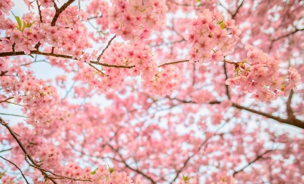 Hermosa flor de japón sakura bajo la luz del sol