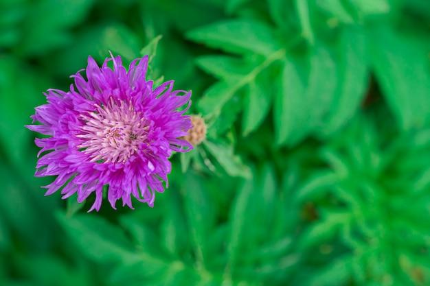 Hermosa flor lila con un escarabajo sobre un fondo verde