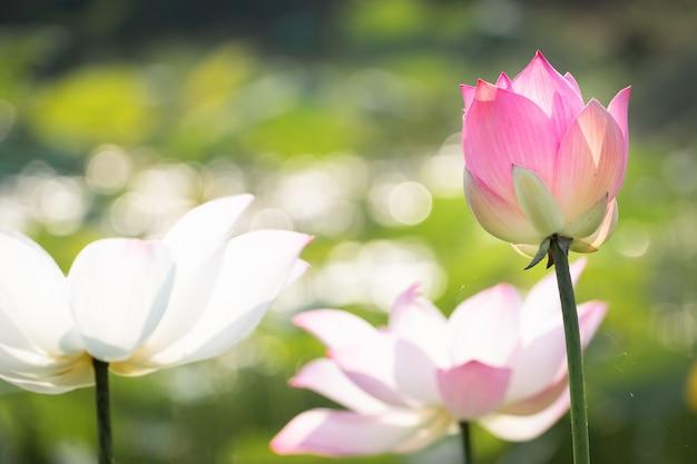 Hermosa flor de lirio de agua en el estanque