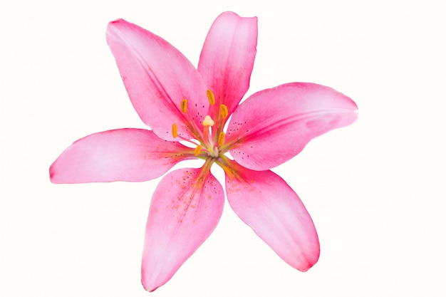 Hermosa flor de lirio rosa