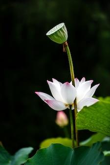 Hermosa flor de loto blanco con vaina de loto sobre negro