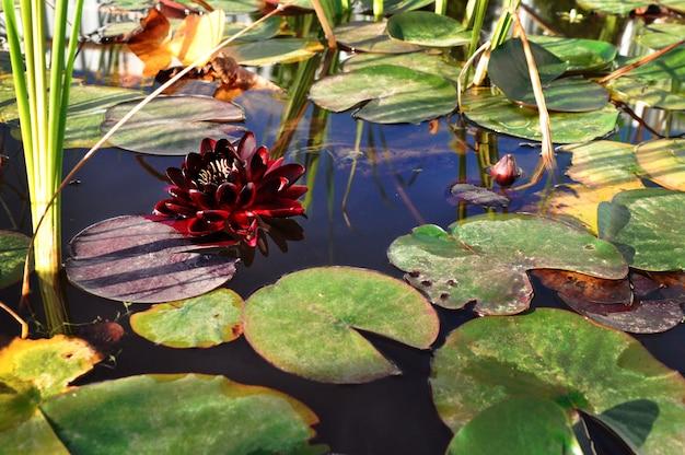 La hermosa flor de loto se complementa con los ricos colores de la superficie del agua azul profundo.