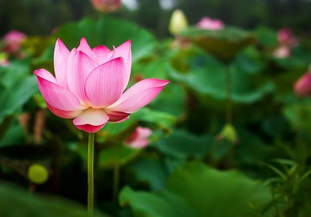 Hermosa flor de loto y hoja de loto verde en el estanque. espacio de copia en blanco.