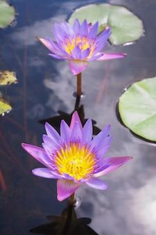 Hermosa flor de loto púrpura con hojas verdes en el fondo de la naturaleza