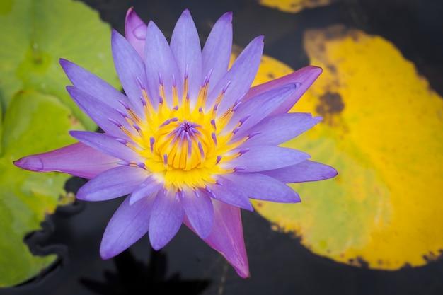 Hermosa flor de loto púrpura con hojas verdes