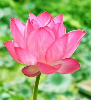 Hermosa flor de loto rosa en blooning