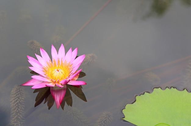Hermosa flor de loto rosa en estanque, primer plano lirio de agua y hojas en la naturaleza.