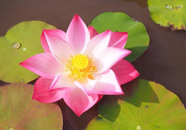Hermosa flor de loto rosa con hojas verdes en el fondo de la naturaleza