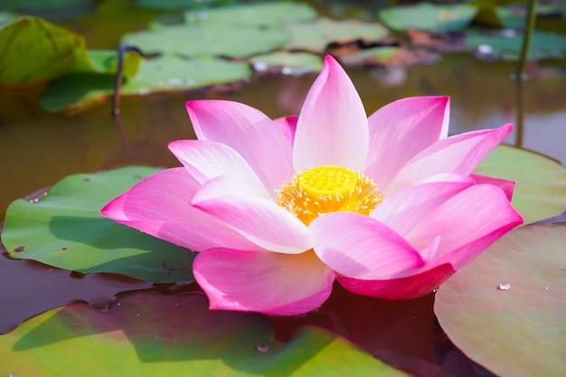 Hermosa flor de loto rosa en el río
