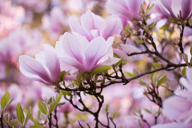 Hermosa flor de magnolia en flor en el enorme árbol de magnolia