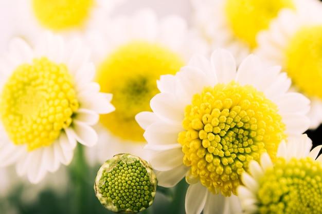 Hermosa flor de manzanilla y brote que florece en el jardín