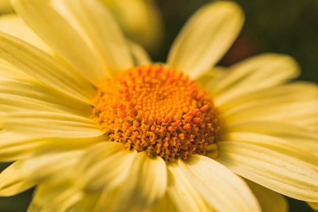 Hermosa flor de margarita amarilla fresca