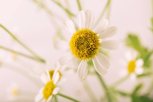 Hermosa flor de margarita de ojo de buey que florece en primavera