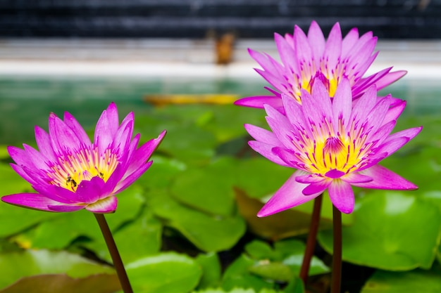 Esta hermosa flor de nenúfar o loto