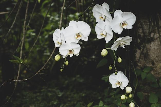 Hermosa flor de orquídea blanca que florece en el árbol en asia salvaje.