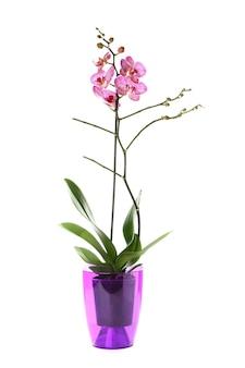 Hermosa flor de orquídea en maceta sobre fondo blanco.